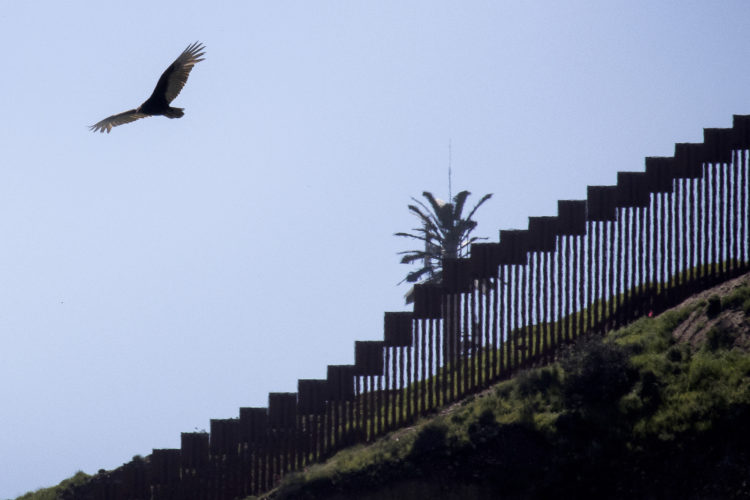 SAN YSIDRO, CA  03/12/2019: A hawk flies past the border wall between Tijuana, Mexico and San Ysidro. The U.S.-Mexico border is 1,933 miles long, stretching from the Pacific Ocean to the Gulf of Mexico, roughly 700 of those miles have fencing currently in place.